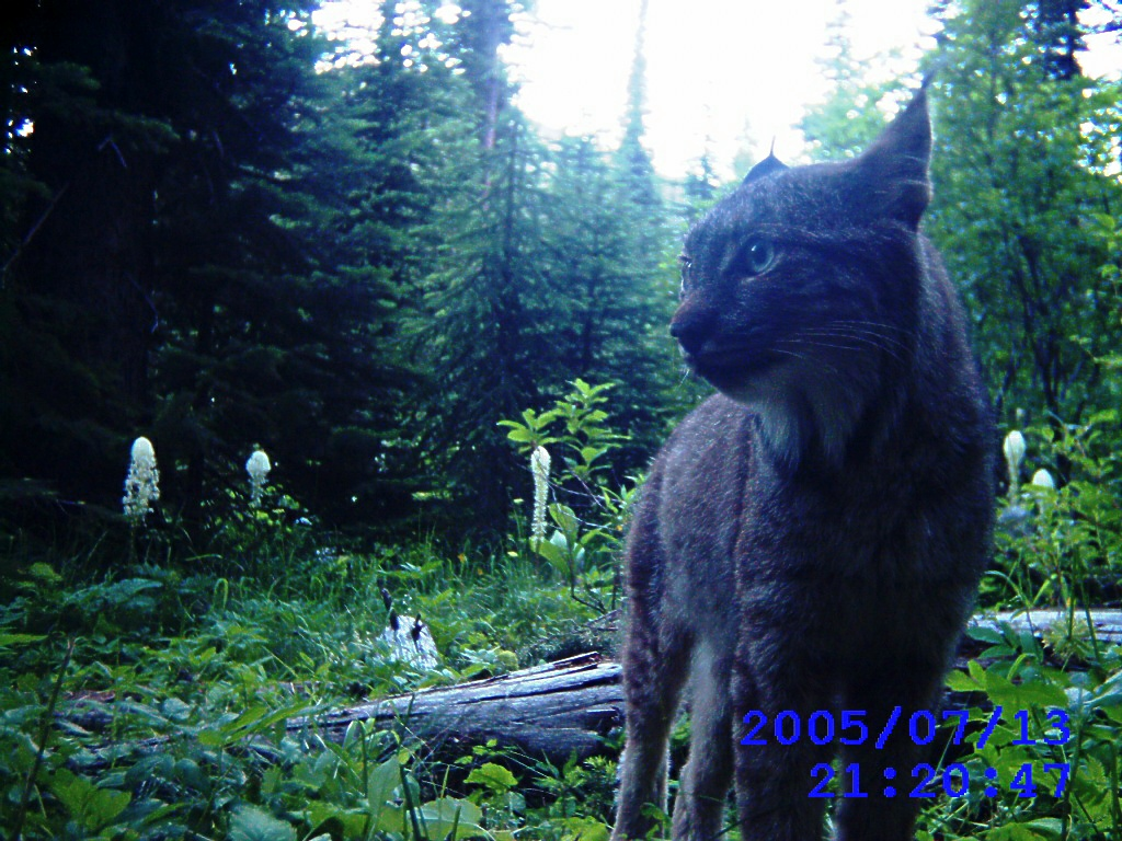 best-lynx-21