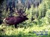 bull-big